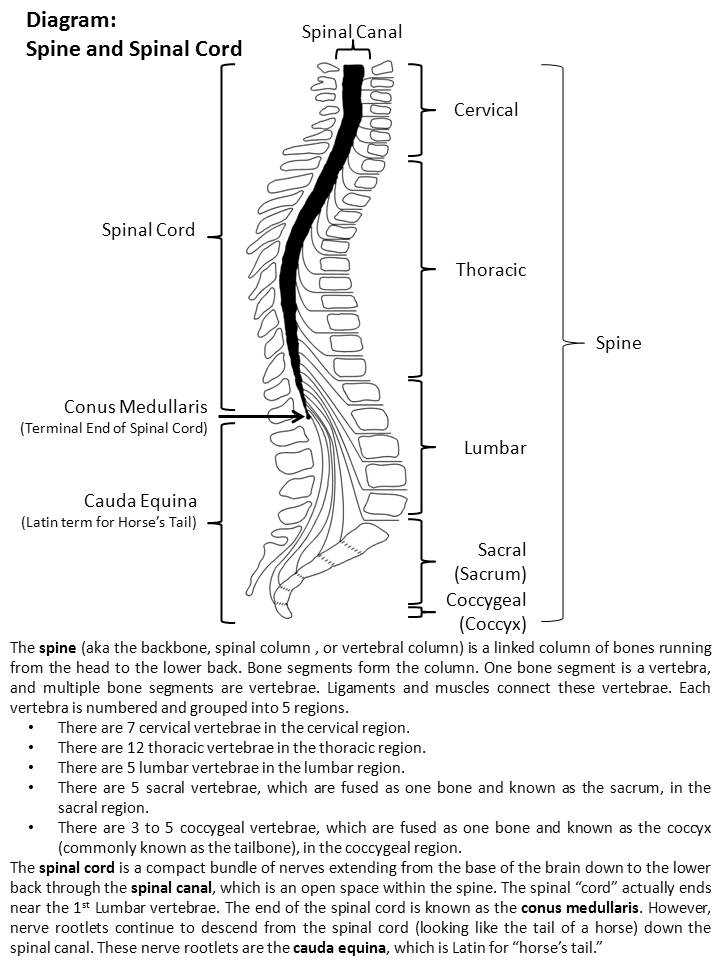 UAB - Spinal Cord Injury Model System - What is the spine?