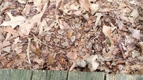 hidden copperhead