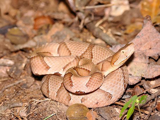 snake arnold