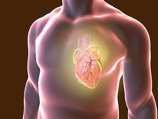 Doxorubicin disrupts the immune system to cause heart toxicity