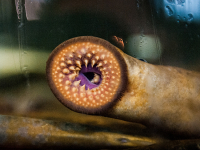 Disease-causing protein in cystic fibrosis has ancient roots in sea lamprey