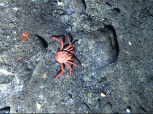King crabs invade Antarctica, could jeopardize cures for disease
