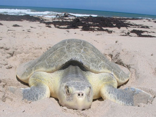World's most endangered sea turtle species in even more trouble than we thought