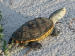 Restoring turtle population in Alabama salt marshes is focus of newly received grant