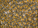 UAB professor helps rescue workers in swarm of thousands of killer bees