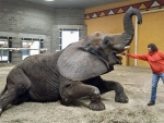 Study examines obesity and reproductive status of zoo elephants