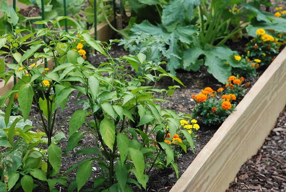 Marigolds and peppers