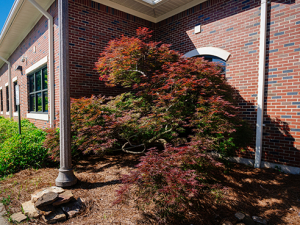 Legacy Japanese maple thrives in new home at Alumni House