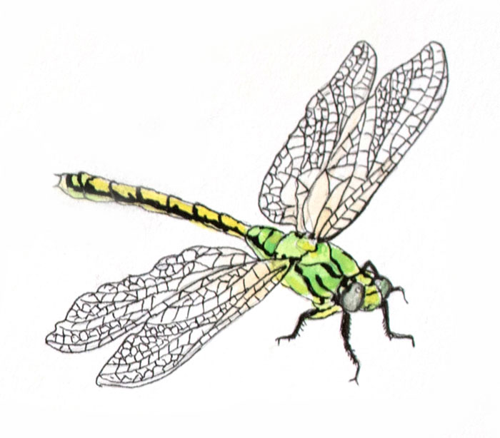 Illustration of dragonfly by Jon Woolley