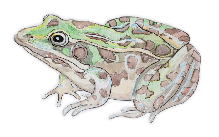 Jon Woolley's illustration of a frog