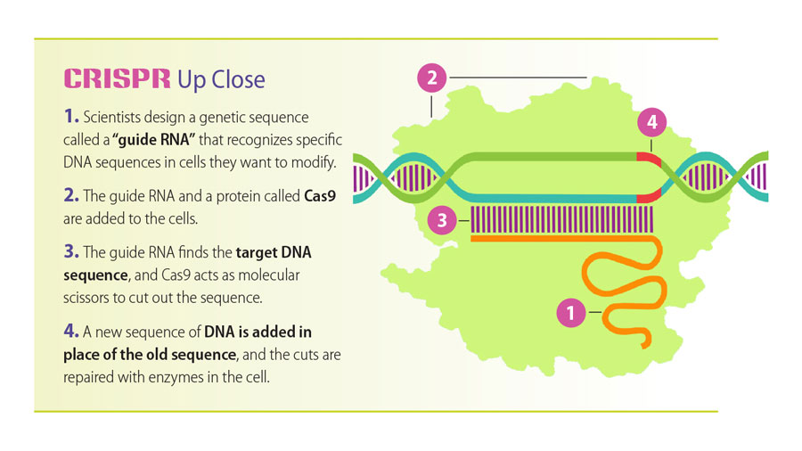 Infographic showing the steps involved in CRISPR