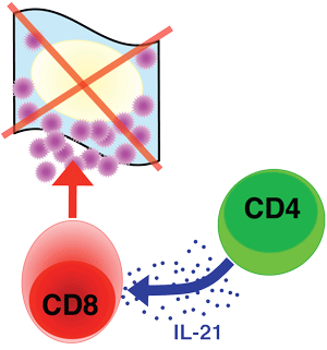 Depiction of IL-21's role in crosstalk between CD4 and CD8 cells